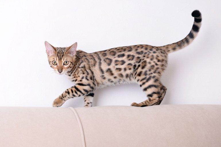 die bengalkatze leoparden f r das wohnzimmer. Black Bedroom Furniture Sets. Home Design Ideas