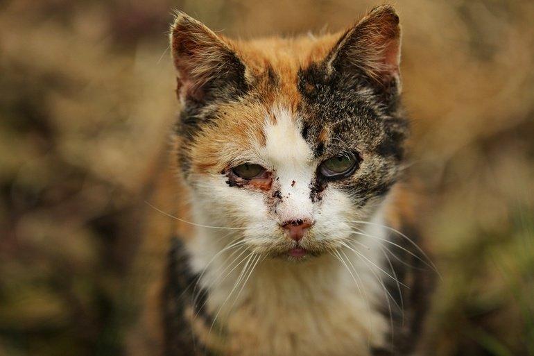 Katzenschnupfen – Infektiöse Rhinitis