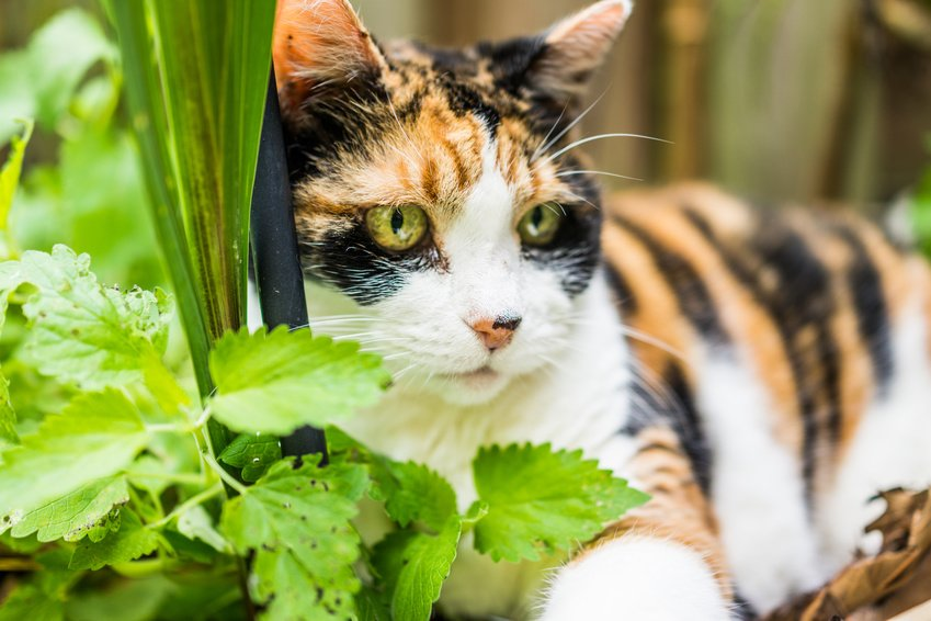 Katzenminze und ihre Wirkung auf Katzen